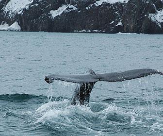Avistamiento-de-Ballenas-en-Islandia